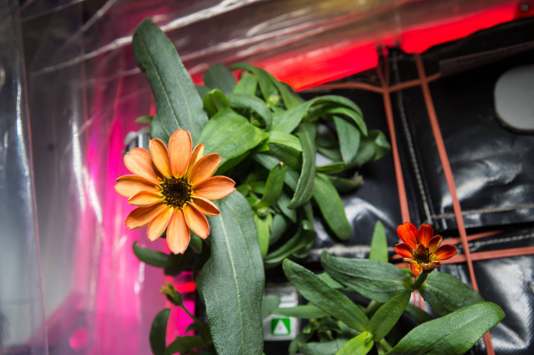 zinnia flower space