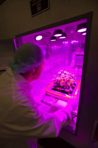 Photos of the Ground Zinnias' Harvesting inside the SSPF